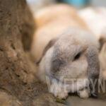 Hodowla królików rasowych – porady