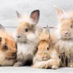 Rasa królików futerkowych