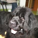 Niedoczynność tarczycy u psów – problem nie tylko dermatologiczny
