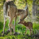 Młode jeleniowate – zasady opieki i wskazania dietetyczne