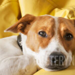 Jak pozbyć się pasożytów u psa – Glisty, włosogłówki, tęgoryjce i nicienie?