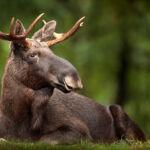Opieka nad młodymi jeleniowatymi –  łoś