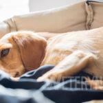 Nicienie u psa – podział, objawy, zagrożenia. Część druga: robaki pozajelitowe