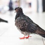 Choroby układu oddechowego u ptaków