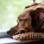 Tasiemiec psi – zagrożenie dla zwierząt towarzyszących