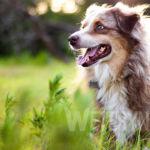 Pchły u psa – jak się ich pozbyć?