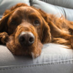Glista psia – Toxocara canis