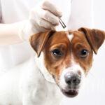 Jak prawidłowo usunąć kleszcza z sierści psa?