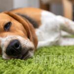 Robaki u psa – rodzaje endopasożytów i objawy choroby